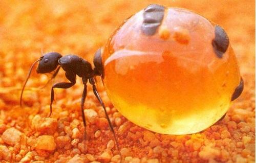 Mật Ong Kiến Không Bu Là Mật Ong Giả Hay Mật Ong Thật