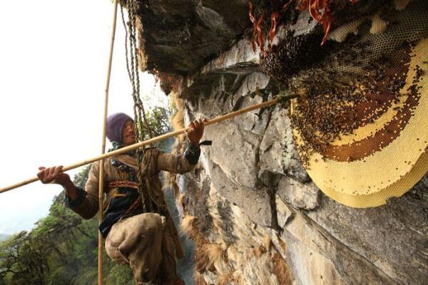Cận cảnh lấy mật ong được đánh cược bằng mạng sống