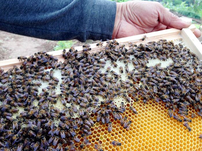 Mật ong nuôi liệu có tốt không?