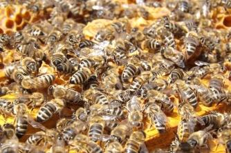 Cách chọn đàn ong làm giống tạo ong Chúa tốt nhất
