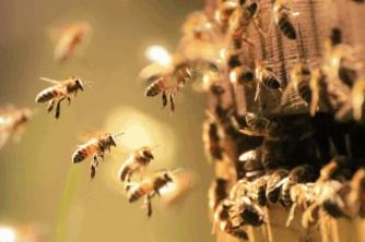 Ong mật giữ ấm cho cơ thể bằng cách nào?
