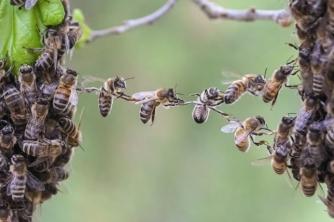 Ong mật tự tách đàn mới như thế nào?