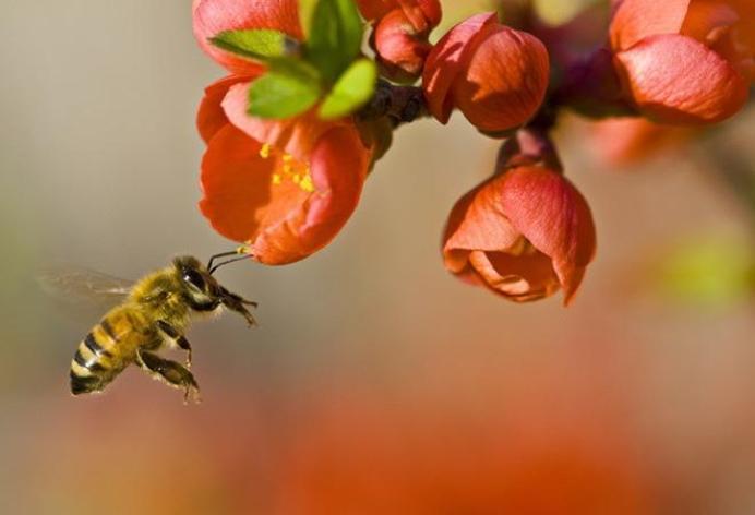 Nếu loài ong tuyệt chủng, điều gì sẽ xảy ra với thế giới?