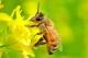 Các loại ong mật ở Việt Nam