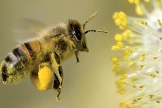 Chi tiết 6 giống ong mật ở Việt Nam