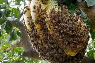 Ở việt nam có mấy loại ong mật