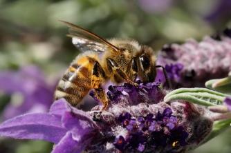 Ong mật là gì?
