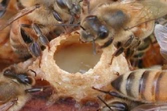 Kỹ thuật tạo ong chúa tự nhiên